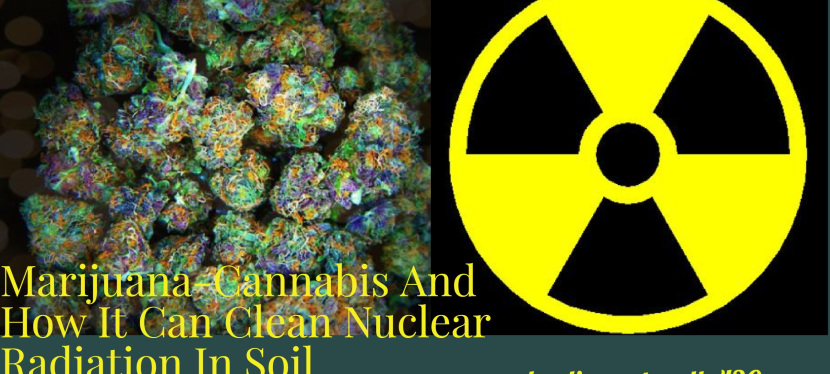 How Cannabis Cleans up Nuclear Radiation and ToxicSoil